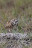 Chouette des terriers --- 0V3A0547 --- Burrowing Owl