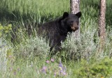 Ours noir - 0V3A7614 - Black Bear