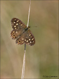 Speckled Wood - Bont zandoogje - Pararge aegeria