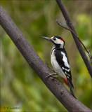 Syrian Woodpecker - Syrische Bonte Specht - Dendrocopos syriacus