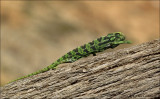 Common Chameleon - Gewone kameleon - Chamaeleo chamaeleon