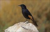 Tristram's Starling  (men)- Tristrams spreeuw - Onychognathus tristramii