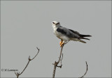 Black-winged Kite - Grijze wouw - Elanus caeruleus