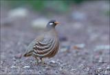 Sand Partridge - Arabische woestijnpatrijs - Ammoperdix heyi