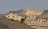 Nubian Ibex- Nubische steenbok - Capra nubianaMidreshet Ben-Gurion,
