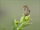 Corn Bunting - Grauwe Gors - Emberiza calandra
