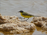 Black-headed Yellow Wagtail (hybrid form)  - Balkankwikstaart hybride superciliaris,