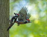 Middle Spotted Woodpecker (man and woman)- Middelste bonte Specht - Dendrocoptes medius