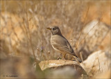 Desert Lark - Woestijnleeuwerik - Ammomanes deserti