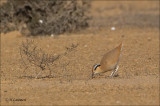 Cream-colored Courser - Renvogel - Cursorius cursor