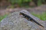 Alpine Newt - Alpenwatersalamander - Triturus alpestris