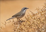 Lesser Whitethroat - Braamsluiper - Sylvia curruca