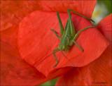 Nymph  Great Green Bush-cricket - Nimf Grote groene sabelsprinkhaan -  Tettigonia viridissima