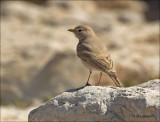 Bar-tailed Lark - Rosse woestijnleeuwerik - Ammomanes cinctura