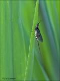 Green Drake Mayfly - Breedstreepeendagsvlieg - Ephemera danica