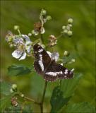 White Admiral - Kleine ijsvogelvlinder - Limenites camilla