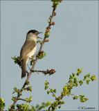 Eurasian Blackcap - Zwartkop -  Sylvia atricapilla