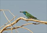 Green Bee-eater - Kleine Gr. Bijeneter - Merops orientalis