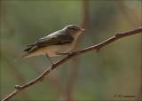 Eastern Bonelli's Warbler - Balkan Bergfluiter - Phylloscopus orientalis