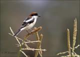Woodchat Shrike - Roodkopklauwier - Lanius senator