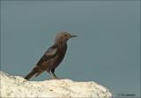 Tristram's Starling  (Female)  - Tristrams spreeuw (vrouw) - Onychognathus tristramii