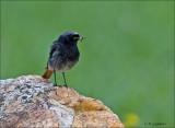 Black Redstart - Zwarte Roodstaart  - Phoenicurus ochruros