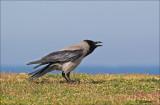 Hooded Crow - Bonte Kraai - Corvus cornix