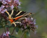 Jersey Tiger - Spaanse vlag - Euplagia quadripunctaria