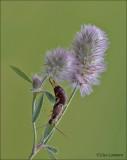 Common Earwig - Gewone Oorworm - Forficula auricularia