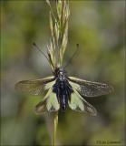 Owlfly - Vlinderhaft - Libelloides longicornus