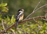 Masked Shrike - Maskerklauwier - Lanius nubicus