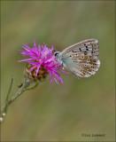 Chalk hill blue - Bleek blauwtje - Polyommatus coridon