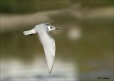 Whiskered Tern - Witwangstern - Chlidonias hybrida