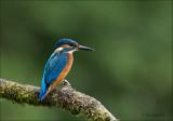 Common Kingfisher - Ijsvogel -  Alcedo atthis