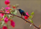 Palestine Sunbird - Palestijnse honingzuiger -  Cinnyris osea