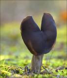 Elfin Saddle - Zwarte kluifzwam -  Helvella lacunosa