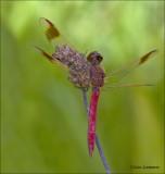Banded Darter - Bandheidelibel - Sympetrum pedemontanum