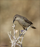Palestine Sunbird ( female)- Palestijnse honingzuiger - Cinnyris osea