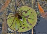 Raft Spider - Gerande oeverspin - Dolomedes fimbriatus