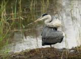 Grey Heron - Blauwe Reiger - Ardea cinerea