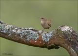 Eurasian Wren - Winterkoning - Troglodytes troglodytes