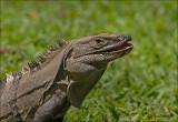 Iguana - Leguaan