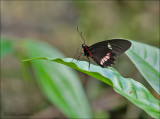 Ruby Spotted Swallowtail - Papilio anchisiades idaeus