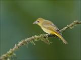 Summer tanager (female) - Zomertangare - Piranga rubra