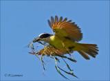 Great kiskadee - Grote kiskadie -  Pitangus sulphuratus
