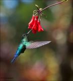 fiery throated hummingbird - Irazukolibrie - Panterpe insignis