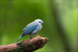 Bleu - gray Tanager - Bisschopstangare - Thraupis episcopus