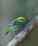 Speckled Tanager -  Spikkeltangare - Tangara guttata