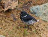 Variable Seedeater (male pacific race)- Noordelijk bont dikbekje - Sporophila corvina