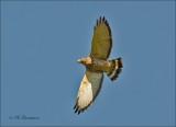 Broad-Winged Hawk - Breedvleugelbuizerd - Buteo platypterus
